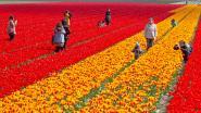 Toeristen vertrappelen massaal de bloempracht op Nederlandse bollenvelden
