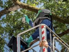 Eikenprocessierups: extra inspecties Vierdaagseroutes Cuijk, Grave en Gennep