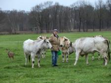 Dit is Prutje, het verstoten reekalfje dat bij de koeien van Appie uit Hengelo leeft