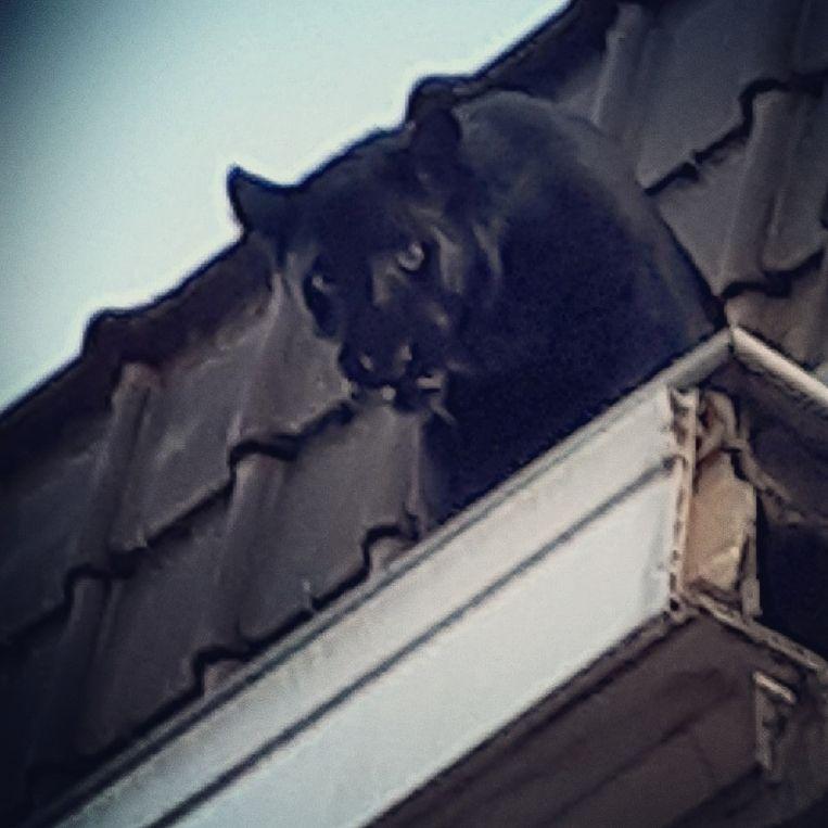 De zwarte panter liep vorige week over de daken van het Noord-Franse Armentières (Hauts de France).