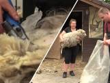 Ook schapen gaan weer naar de kapper: 'Achteraf vinden ze het prachtig'