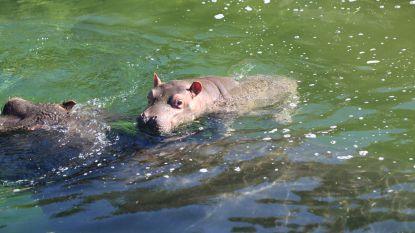 Nijlpaardje geboren in Pairi Daiza: publiek kiest naam komende dagen via Facebook