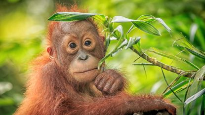 Pairi Daiza verwacht een kleine orang-oetan