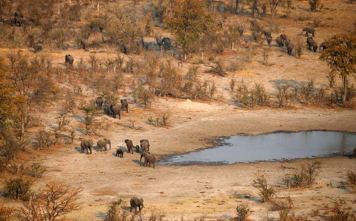 Een kudde olifanten in Botswana, archiefbeeld ter illustratie.