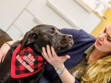 Labrador Amstel is stoer, hij is donor voor de Utrechtse hondenbloedbank