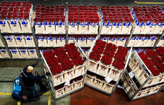 Archieffoto. Een medewerker van de bloemenveiling in Aalsmeer verwerkt rode rozen die bestemd zijn voor de verkoop voor Valentijnsdag.