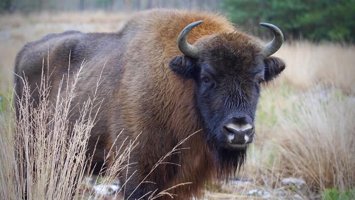 Eén van de twee wisentrunderen op de Veluwe. Binnenkort komt er een stier bij.