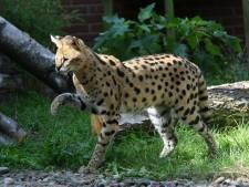 'Aangelijnde luipaard' veroorzaakt onrust in Harderwijk