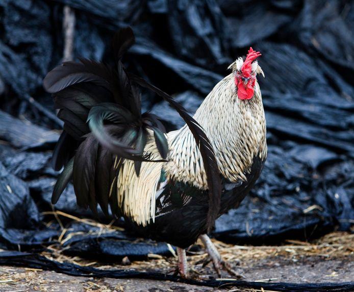 """Het houden van meerdere hanen kan leiden tot problemen volgens Anouk Korporaal. ,,Hanen vechten soms tot de dood erop volgt."""""""