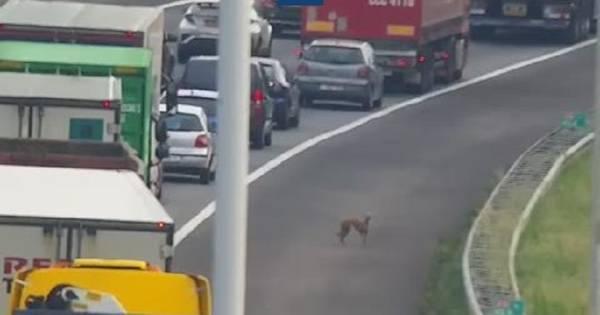 Een van de loslopende honden op A16 bij Moerdijk aangereden en overleden.