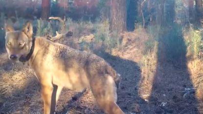 """Vrijwilliger maakt unieke beelden van wolvin Naya: """"Ik heb één camera hangen, ik sprong een gat in de lucht"""""""