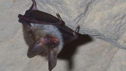 Vleermuizen en uil hebben weer deftige thuis: natuurliefhebbers ruimen zolder Sint-Amanduskerk op