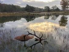 Dood edelhert vormt stilleven in Veluws bos