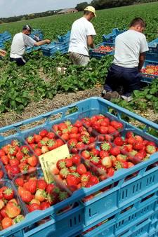 Wie wil de aardbeien in West-Brabant nog plukken?