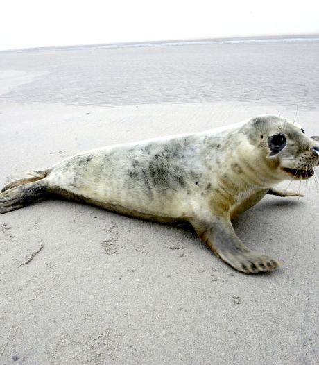 Twintig procent meer grijze zeehonden in de Waddenzee dan vorig jaar