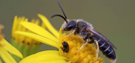 Un insecte rare repéré pour la première fois en Belgique depuis 1953