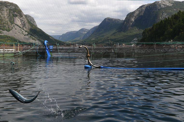 Een zalm springt uit het water in het onderzoekscentrum in Dirdal (Noorwegen)