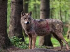 Moeten we bang zijn voor de wolf?