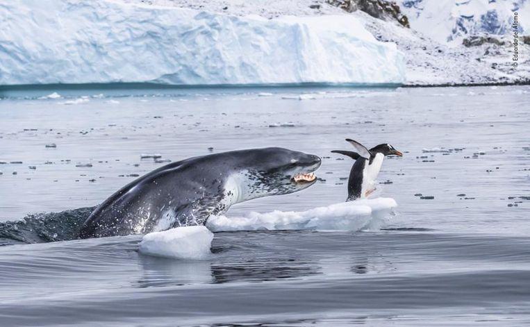 De snelste. Een supersnelle ezelspinguïn ontsnapt nog even op de zuidpool aan de kaken van een net zo snel zeeluipaard. Na een jacht van een kwartier werd de pinguïn toch opgegeten. Wildlife Photographer Of The Year