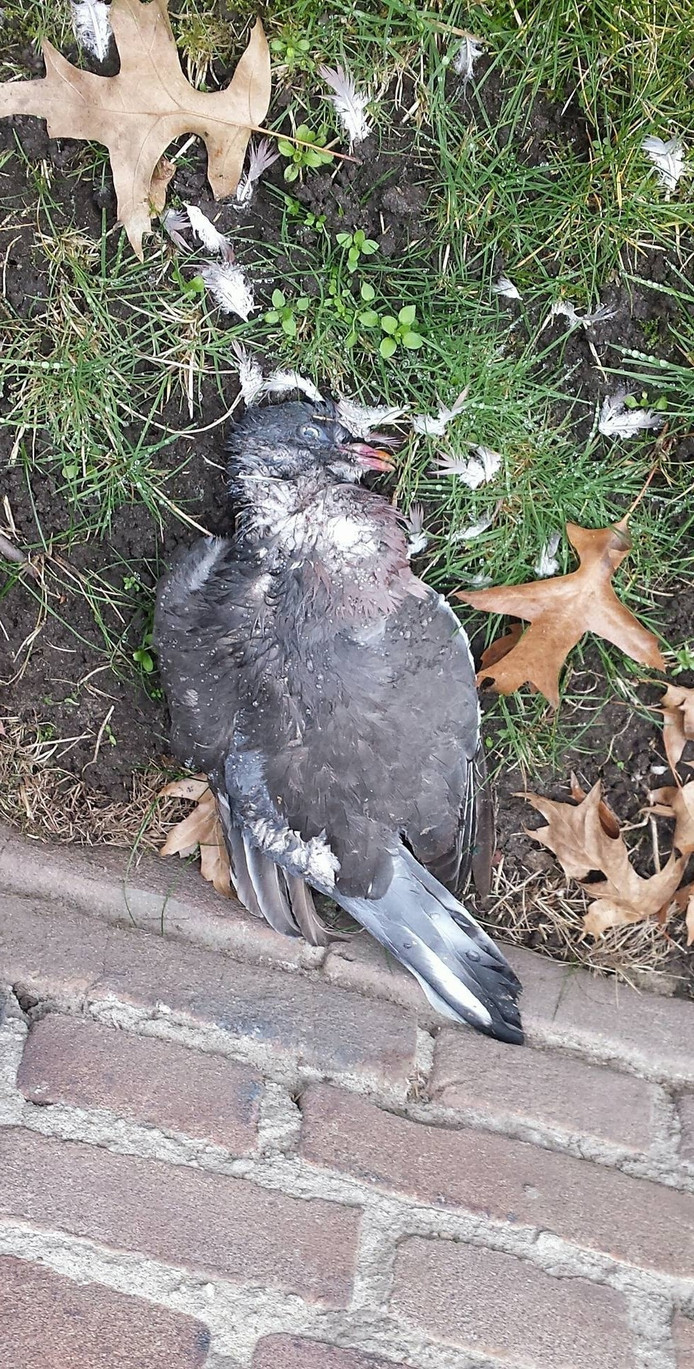 Een dode duif die Ilona Pelders in Tilburg vond.