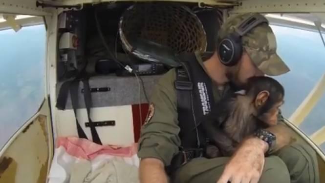 """Vlaamse piloot redt babychimpansee uit handen van smokkelaars: """"Stropers maakten heel de familie af"""""""