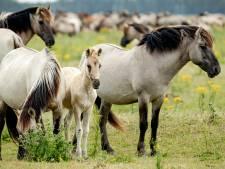 Flevolandse konikpaarden: naar Spanje of de slacht? Staatsbosbeheer kiest voor de slacht