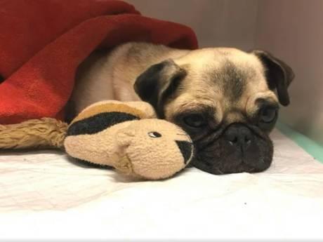 Tienduizenden eisen in petitie hogere straf voor baasje mishandelde mopshond Lola