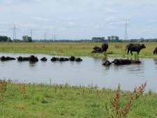 Deze zomer waterbuffels in Saeftinghe