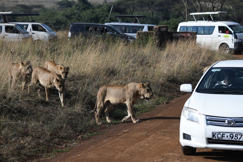Toeristen bekijken leeuwen in het Nairobi National Park.  Beeld AFP