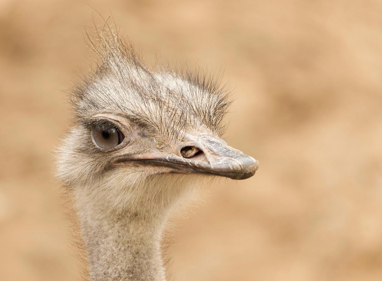 Struisvogel bij Ouwehands.