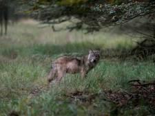 Hobbyfotograaf stuit op hele roedel wolven: 'Vreselijk veel geluk gehad'