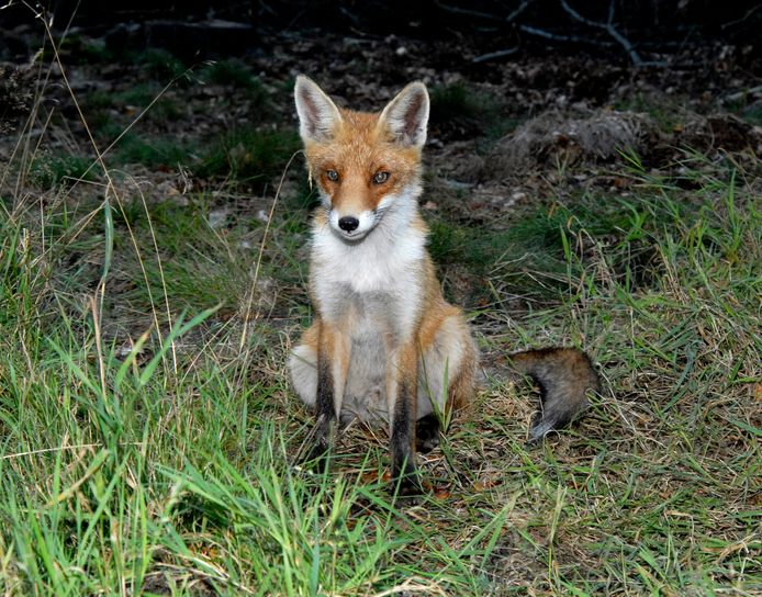 Volgens verschillende wetenschappers gaan vossen zich door vossenjachten sneller voortplanten, om het territorium te bezetten. Gevolg: meer jonge vossen, die nadien opnieuw worden geschoten.