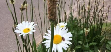 Na jaar popt bijenlint toch op in Haaren