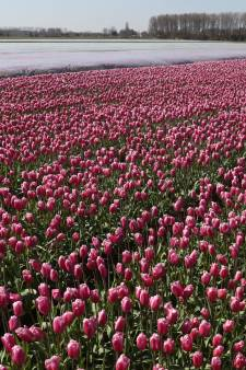 Tulpenpracht brengt beetje kleur in crisistijd