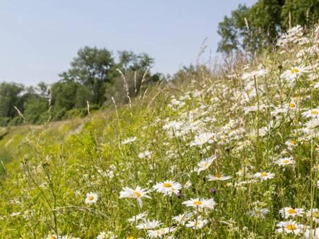 Blije bijen, bloemen vol nectar: natuurbeheer in de prijzen voor 'perfecte' dijk in Brabants Rijswijk