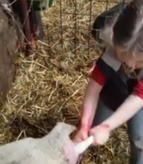 Onverschrokken Sofie (3) trekt 43 miljoen kijkers met geboorte lammetje