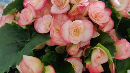 Gemeente waarschuwt voor oplichter die zich voordoet als verkoper van bloemen voor Kom Op Tegen Kanker in Asper
