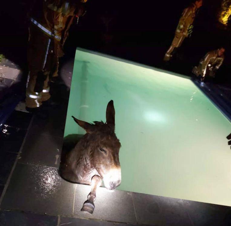 De brandweer kon de ezel uit het zwembad halen
