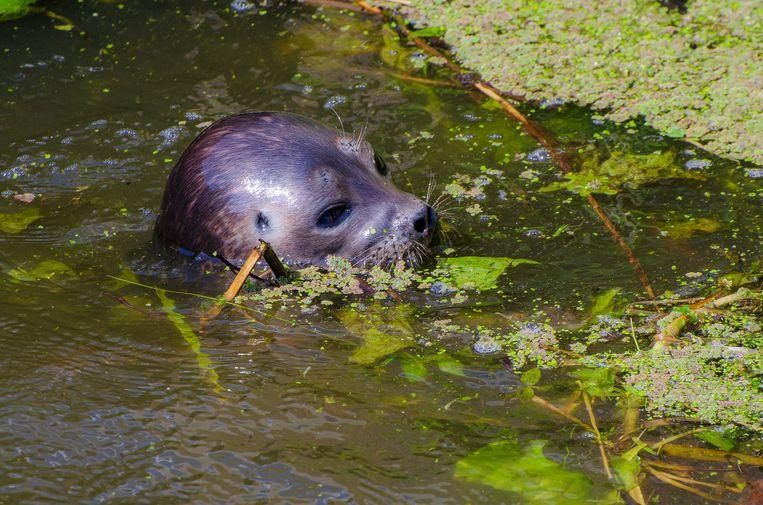 De zeehond werd voor het eerst gezien bij het dorpje De Kwakel Beeld Nico Kuyvenhoven