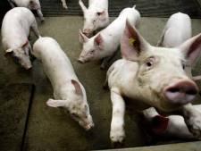 Limburg wil meer geld voor stoppende varkensboeren