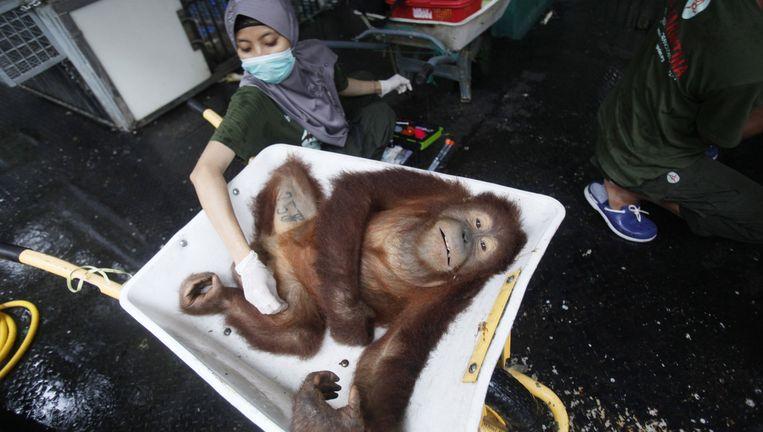 Een verdoofde Orang Oetan wordt weer terug de jungle in gestuurd. De meeste apen in het centrum op Sumatra zijn het slachtoffer van boskap of stropers. Beeld null