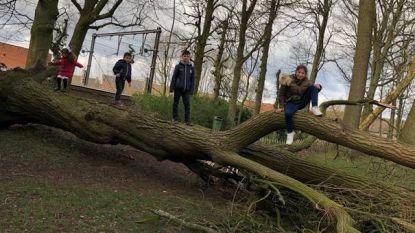Storm heeft ook leuke gevolgen: gesneuvelde trompetboom wordt speeltuig