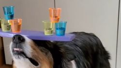 Hond balanceert glaasjes op kop... tijdens het skaten!