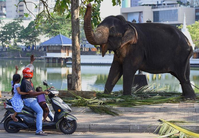 Olifanten, Sri Lanka stikt er van.