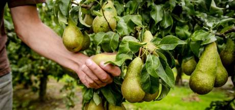 Onverkoopbare peren uit Wemeldinge zijn verkocht