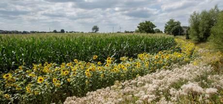 Insecten leven op dankzij zonnebloemen langs maisvelden in Lochem