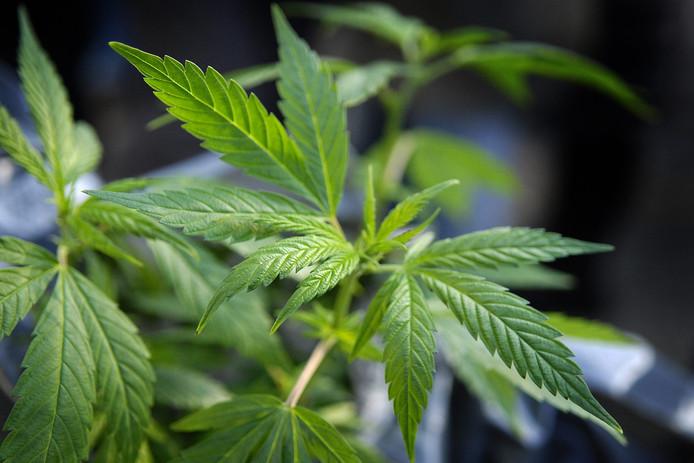 Een cannabisplant.