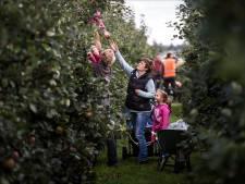 Zelf appels plukken bij teler in Nieuwendijk