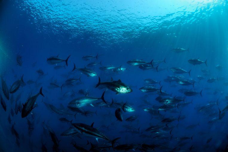 Atlantic bluefin tuna (Thunnus thynnus) shoal, captive, Malta, Mediteranean, May 2009 Atlantische blauwvintonijn in gevangenschap bij Malta -®WWF Wild Wonders of Europe Zankl Beeld rv