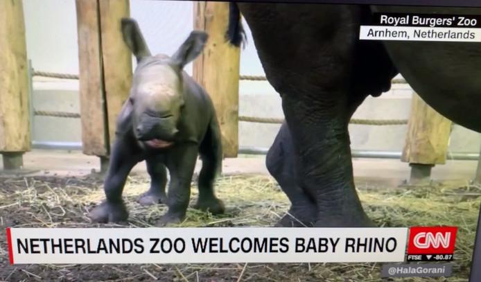 Het jongste breedlipneushoorntje van Burgers' Zoo in Arnhem als uitsmijter van het CNN-programma 'Hala Gorani Tonight'.